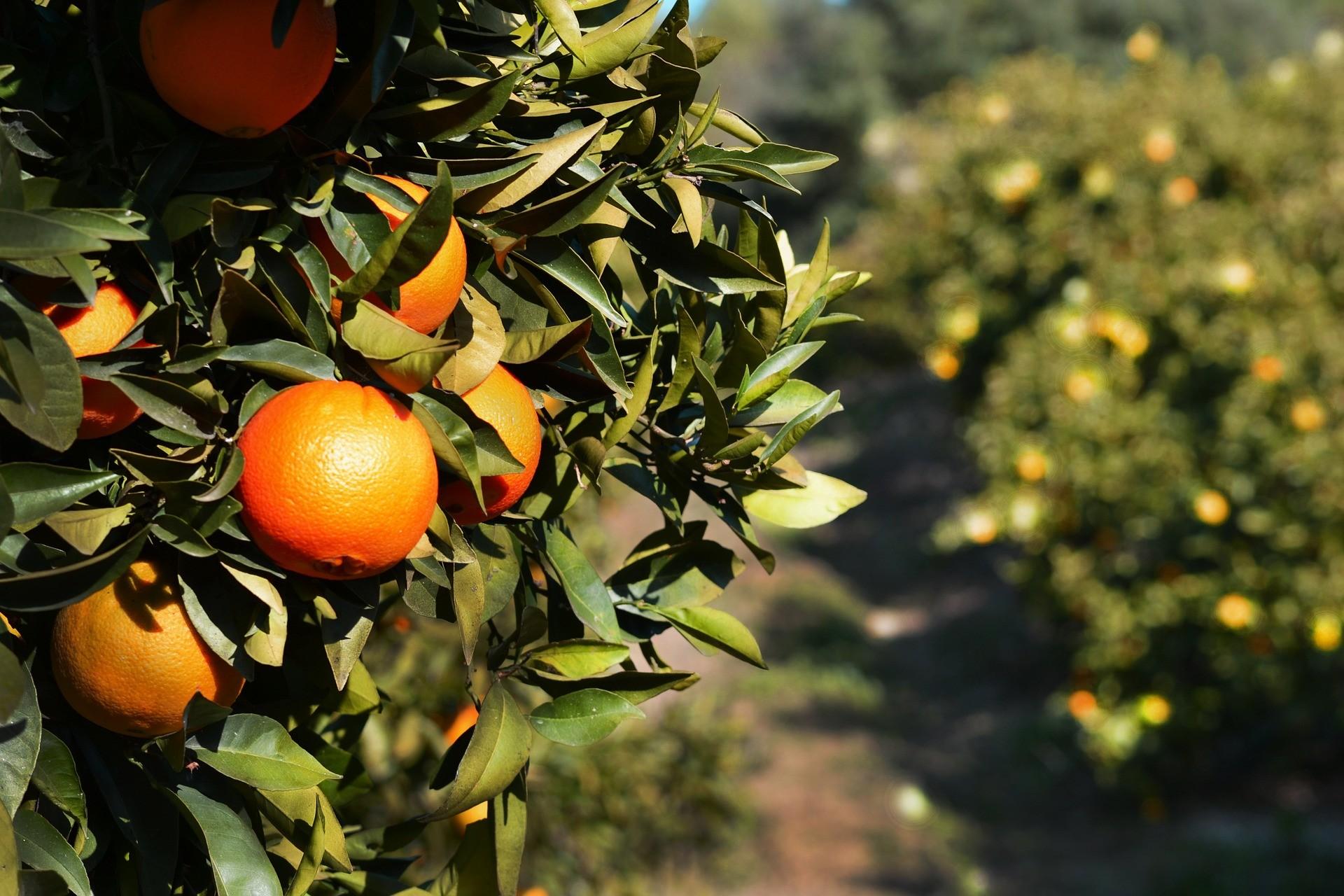 Spanje - Sinaasappels